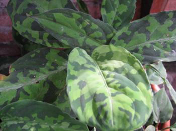Aglao-Tricolor--Aug-2011-0215B15D[2].jpg